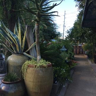 Phoenix Az Plant Nursery Green Dess And Foliage